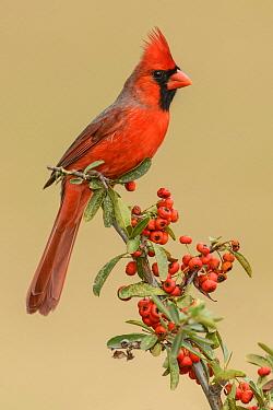 Northern Cardinal (Cardinalis cardinalis) male, Texas  -  Alan Murphy/ BIA