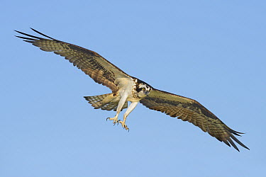 Osprey (Pandion haliaetus) flying with talons out, Texas  -  Alan Murphy/ BIA