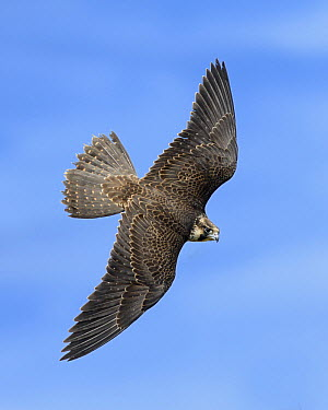 Peregrine Falcon (Falco peregrinus) male flying, Texas  -  Alan Murphy/ BIA