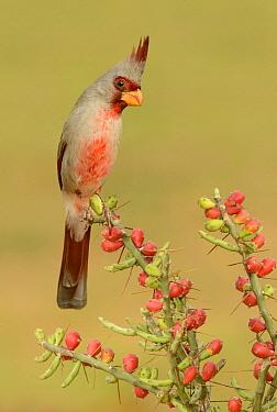 Pyrrhuloxia (Cardinalis sinuatus) male, Texas  -  Alan Murphy/ BIA