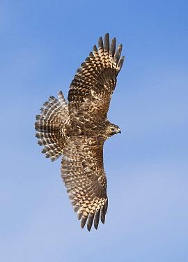 Red-shouldered Hawk (Buteo lineatus) flying, Texas  -  Alan Murphy/ BIA
