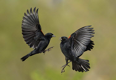 Red-winged Blackbird (Agelaius phoeniceus) males fighting, Texas  -  Alan Murphy/ BIA