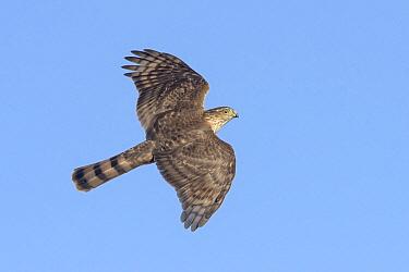 Sharp-shinned Hawk (Accipiter striatus) flying, Texas  -  Alan Murphy/ BIA