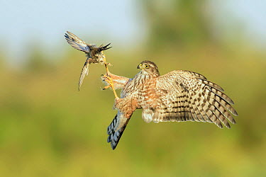 Sharp-shinned Hawk (Accipiter striatus) attacking bird in flight, Texas  -  Alan Murphy/ BIA