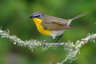 Yellow-breasted Chat (Icteria virens), Texas  -  Alan Murphy/ BIA