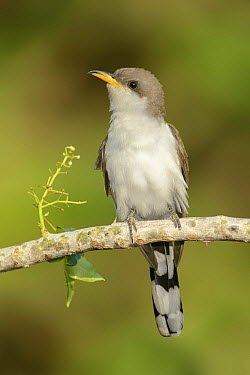 Yellow-billed Cuckoo (Coccyzus americanus) male, Texas  -  Alan Murphy/ BIA
