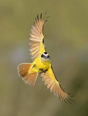 Great Kiskadee (Pitangus sulphuratus) flying, Texas  -  Alan Murphy/ BIA
