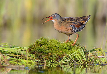Virginia Rail (Rallus limicola) calling, British Columbia, Canada  -  Alan Murphy/ BIA