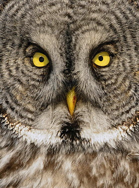 Great Gray Owl (Strix nebulosa) face, Alaska  -  Alan Murphy/ BIA