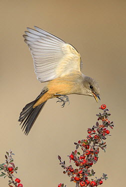 Say's Phoebe (Sayornis saya) picking off berries in flight, New Mexico  -  Alan Murphy/ BIA