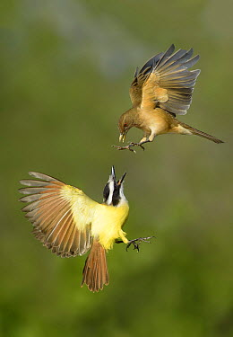 Clay-colored Thrush (Turdus grayi) and Great Kiskadee (Pitangus sulphuratus) pair fighting, Texas  -  Alan Murphy/ BIA
