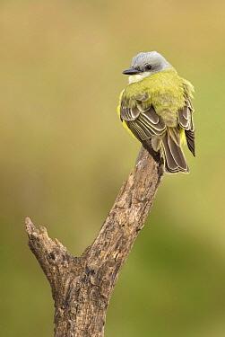 Couch's Kingbird (Tyrannus couchii), Texas  -  Alan Murphy/ BIA