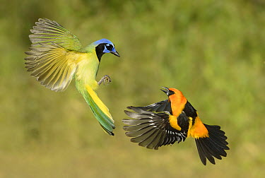 Green Jay (Cyanocorax yncas) and Altamira Oriole (Icterus gularis) fighting in flight, Texas  -  Alan Murphy/ BIA