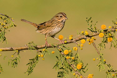 Lincoln's Sparrow (Melospiza lincolnii), Texas  -  Alan Murphy/ BIA