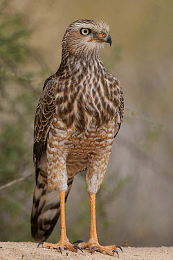 Pale Chanting-Goshawk (Melierax canorus) juvenile, Northern Cape, South Africa  -  Heini Wehrle/ BIA