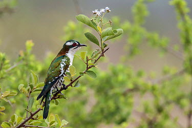 Dideric Cuckoo (Chrysococcyx caprius), Mpumalanga, South Africa  -  Heini Wehrle/ BIA