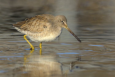 Long-billed Dowitcher (Limnodromus scolopaceus) foraging, British Columbia, Canada  -  Tim Zurowski/ BIA