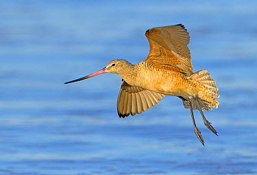 Marbled Godwit (Limosa fedoa) flying, California  -  Tim Zurowski/ BIA