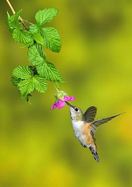 Rufous Hummingbird (Selasphorus rufus) female feeding on flower nectar, British Columbia, Canada  -  Tim Zurowski/ BIA