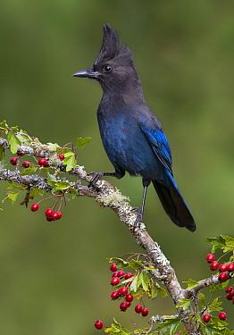 Steller's Jay (Cyanocitta stelleri), British Columbia, Canada  -  Tim Zurowski/ BIA