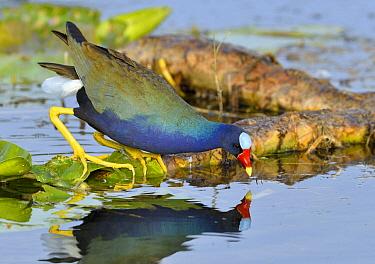 Purple Gallinule (Porphyrio martinicus) foraging, Florida  -  Tim Zurowski/ BIA
