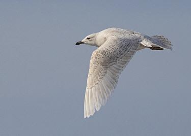 Iceland Gull (Larus glaucoides) flying, Wales, United Kingdom  -  David Williams/ BIA