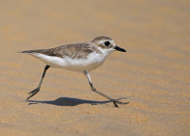 Mongolian Plover (Charadrius mongolus) running, Thailand  -  David Williams/ BIA