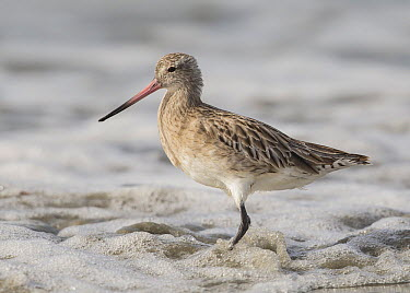Bar-tailed Godwit (Limosa lapponica), Gambia  -  David Williams/ BIA