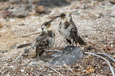 Charles Mockingbird (Nesomimus trifasciatus) pair courting, Champion Islet, Floreana Island, Galapagos Islands, Ecuador  -  Tui De Roy