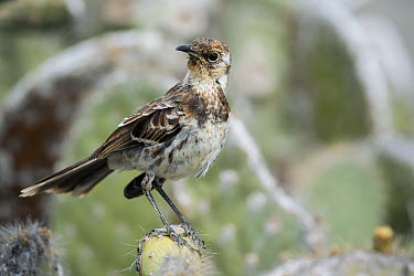 Charles Mockingbird (Nesomimus trifasciatus), Champion Islet, Floreana Island, Galapagos Islands, Ecuador  -  Tui De Roy