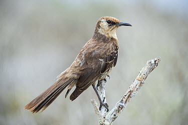 Charles Mockingbird (Nesomimus trifasciatus), Floreana Island, Galapagos Islands, Ecuador  -  Tui De Roy