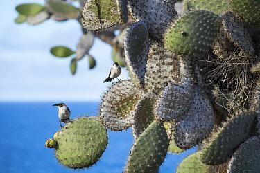 Galapagos Mockingbird (Nesomimus parvulus) pair on cactus, Santa Fe Island, Galapagos Islands, Ecuador  -  Tui De Roy
