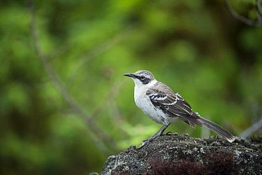 Galapagos Mockingbird (Nesomimus parvulus), Los Gemelos, Santa Cruz Island, Galapagos Islands, Ecuador  -  Tui De Roy