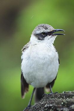Galapagos Mockingbird (Nesomimus parvulus) calling, Los Gemelos, Santa Cruz Island, Galapagos Islands, Ecuador  -  Tui De Roy