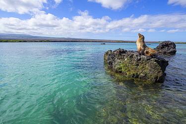 Galapagos Sea Lion (Zalophus wollebaeki) hauled out on rock, Elizabeth Bay, Isabela Island, Galapagos Islands, Ecuador  -  Tui De Roy