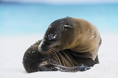 Galapagos Sea Lion (Zalophus wollebaeki) pup, Gardner Bay, Espanola Island, Galapagos Islands, Ecuador  -  Tui De Roy