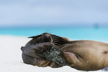 Galapagos Sea Lion (Zalophus wollebaeki) pup covering face with flippers, Gardner Bay, Espanola Island, Galapagos Islands, Ecuador  -  Tui De Roy