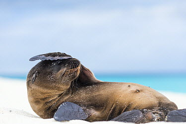 Galapagos Sea Lion (Zalophus wollebaeki) pup covering face with flipper, Gardner Bay, Espanola Island, Galapagos Islands, Ecuador  -  Tui De Roy