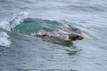 Galapagos Sea Lion (Zalophus wollebaeki) pair surfing wave, Mosquera Island, Galapagos Islands, Ecuador  -  Tui De Roy