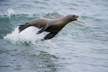 Galapagos Sea Lion (Zalophus wollebaeki) surfing wave, Mosquera Island, Galapagos Islands, Ecuador  -  Tui De Roy