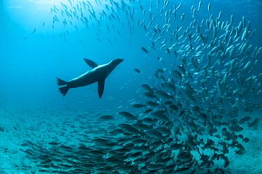 Galapagos Sea Lion (Zalophus wollebaeki) hunting fish, Rabida Island, Galapagos Islands, Ecuador  -  Tui De Roy