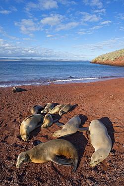 Galapagos Sea Lion (Zalophus wollebaeki) group resting on beach, Rabida Island, Galapagos Islands, Ecuador  -  Tui De Roy