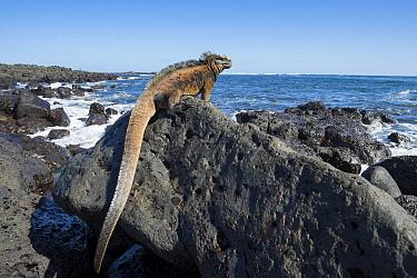 Marine Iguana (Amblyrhynchus cristatus) on coastal lava rocks, Santa Cruz Island, Galapagos Islands, Ecuador  -  Tui De Roy