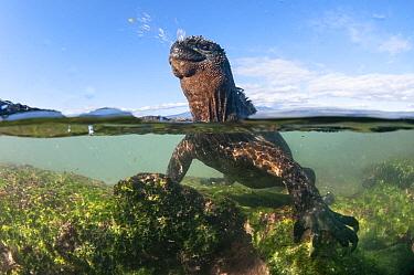 Marine Iguana (Amblyrhynchus cristatus) in water sneezing and expelling sodium from nostril and cranial salt gland, Punta Espinosa, Fernandina Island, Galapagos Islands, Ecuador  -  Tui De Roy
