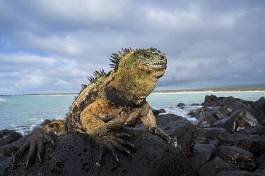 Marine Iguana (Amblyrhynchus cristatus) on coastal lava rocks, Turtle Bay, Santa Cruz Island, Galapagos Islands, Ecuador  -  Tui De Roy