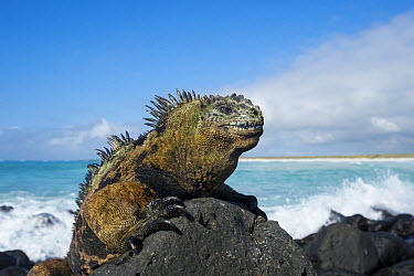 Marine Iguana (Amblyrhynchus cristatus) on coastal rocks, Turtle Bay, Santa Cruz Island, Galapagos Islands, Ecuador  -  Tui De Roy