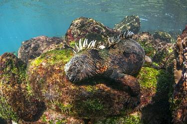 Marine Iguana (Amblyrhynchus cristatus) feeding on algae, Rabida Island, Galapagos Islands, Ecuador  -  Tui De Roy