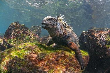 Marine Iguana (Amblyrhynchus cristatus) in water, Rabida Island, Galapagos Islands, Ecuador  -  Tui De Roy