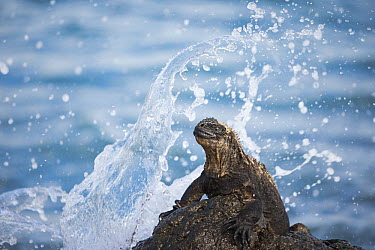 Marine Iguana (Amblyrhynchus cristatus) on rock in surf, Urvina Bay, Isabela Island, Galapagos Islands, Ecuador  -  Tui De Roy