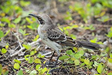 San Cristobal Mockingbird (Nesomimus melanotis), San Cristobal Island, Galapagos Islands, Ecuador  -  Tui De Roy